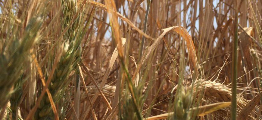 FLASH AVVERSITA'. Raccolta 2017: presenza di ricacci nei cereali